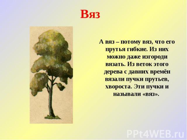 Вяз А вяз – потому вяз, что его прутья гибкие. Из них можно даже изгороди вязать. Из веток этого дерева с давних времён вязали пучки прутьев, хвороста. Эти пучки и называли «вяз».