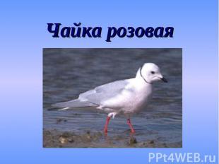 Чайка розовая