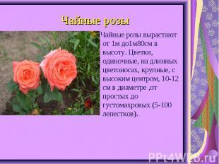 Чайные розы вырастают от 1м до1м80см в высоту. Цветки, одиночные, на длинных цве