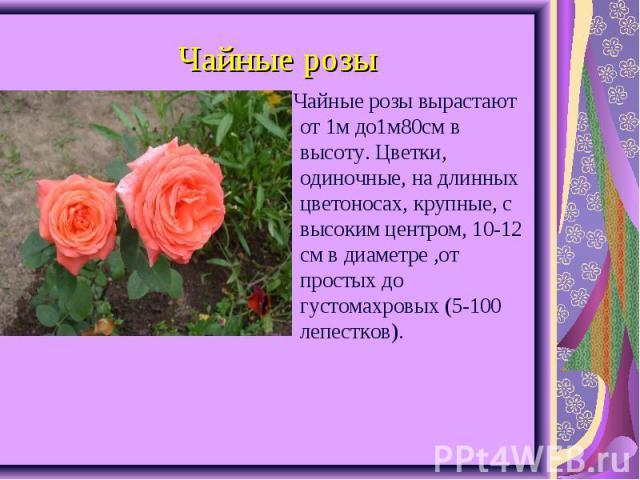 Чайные розы вырастают от 1м до1м80см в высоту. Цветки, одиночные, на длинных цветоносах, крупные, с высоким центром, 10-12 см в диаметре ,от простых до густомахровых (5-100 лепестков). Чайные розы вырастают от 1м до1м80см в высоту. Цветки, одиночные…