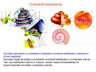 Слуховой анализатор По мере удаления от основания к вершине основная мембрана ст