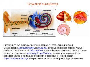 Внутреннее ухо включает костный лабиринт, разделенный двумя мембранами: вестибул