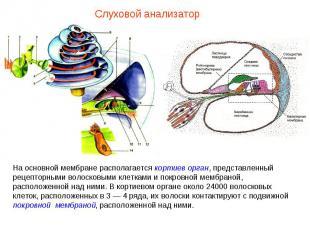 На основной мембране располагается кортиев орган, представленный рецепторными во