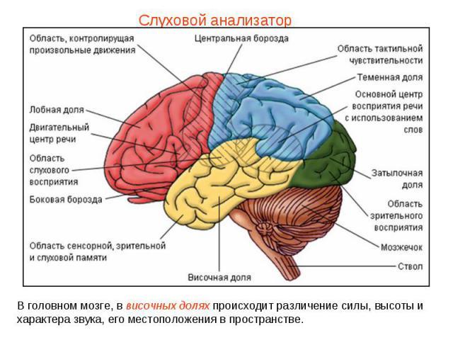 Слуховой анализатор В головном мозге, в височных долях происходит различение силы, высоты и характера звука, его местоположения в пространстве.