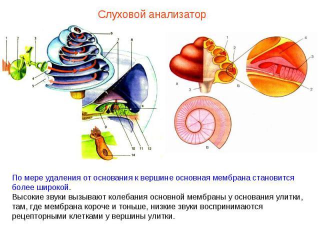 Слуховой анализатор По мере удаления от основания к вершине основная мембрана становится более широкой. Высокие звуки вызывают колебания основной мембраны у основания улитки, там, где мембрана короче и тоньше, низкие звуки воспринимаются рецепторным…