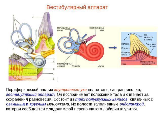 Вестибулярный аппарат Периферической частью внутреннего уха является орган равновесия, вестибулярный аппарат. Он воспринимает положение тела и отвечает за сохранения равновесия. Состоит из трех полукружных каналов, связанных с овальным и круглым меш…