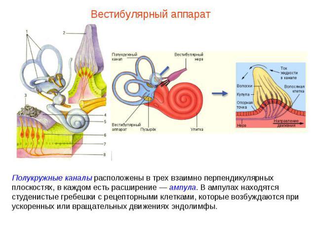 Полукружные каналы расположены в трех взаимно перпендикулярных плоскостях, в каждом есть расширение — ампула. В ампулах находятся студенистые гребешки с рецепторными клетками, которые возбуждаются при ускоренных или вращательных движениях эндолимфы.…