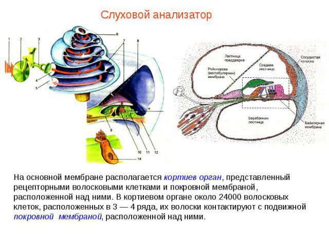 На основной мембране располагается кортиев орган, представленный рецепторными волосковыми клетками и покровной мембраной, расположенной над ними. В кортиевом органе около 24000 волосковых клеток, расположенных в 3 — 4 ряда, их волоски контактируют с…