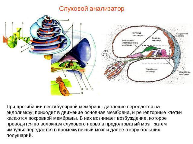 Слуховой анализатор При прогибании вестибулярной мембраны давление передается на эндолимфу, приходит в движение основная мембрана, и рецепторные клетки касаются покровной мембраны. В них возникает возбуждение, которое проводится по волокнам слуховог…