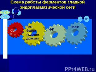 Схема работы ферментов гладкой эндоплазматической сети FeS-белок (адренодоксин)