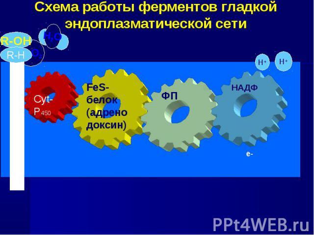 Схема работы ферментов гладкой эндоплазматической сети FeS-белок (адренодоксин) ФП Cyt-P450 Ѕ O2 Н2O Н+ Н+ е- е- А Т Ф а з а R-OН R-H НАДФ