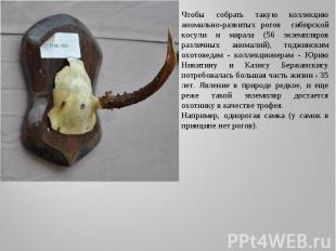 Чтобы собрать такую коллекцию аномально-развитых рогов сибирской косули и марала