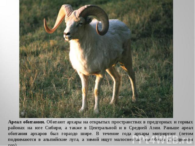 Ареал обитания. Обитают архары на открытых пространствах в предгорных и горных районах на юге Сибири, а также в Центральной и в Средней Азии. Раньше ареал обитания архаров был гораздо шире. В течение года архары мигрируют (летом поднимаются в альпий…