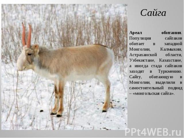 Сайга Ареал обитания. Популяция сайгаков обитает в западной Монголии, Калмыкии, Астраханской области, Узбекистане, Казахстане, а иногда стада сайгаков заходят в Туркмению. Сайгу, обитающую в Монголии, выделили в самостоятельный подвид – «монгольская…