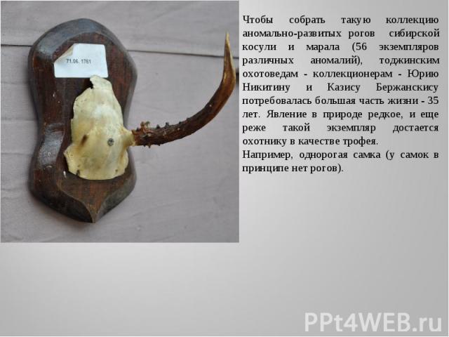 Чтобы собрать такую коллекцию аномально-развитых рогов сибирской косули и марала (56 экземпляров различных аномалий), тоджинским охотоведам - коллекционерам - Юрию Никитину и Казису Бержанскису потребовалась большая часть жизни - 35 лет. Явление в п…