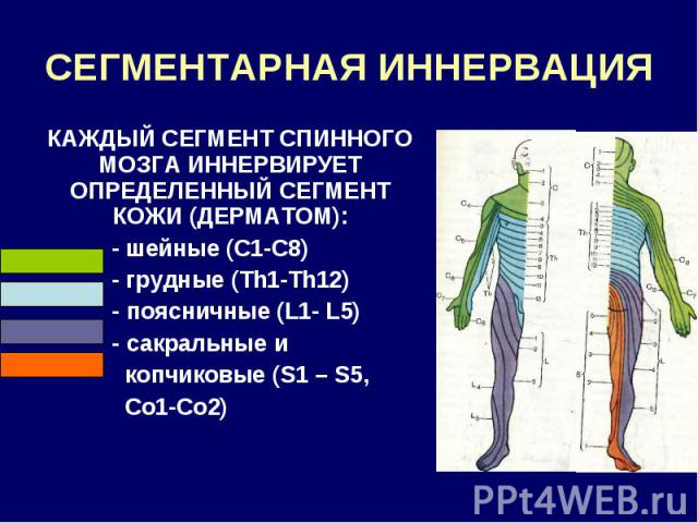 СЕГМЕНТАРНАЯ ИННЕРВАЦИЯ КАЖДЫЙ СЕГМЕНТ СПИННОГО МОЗГА ИННЕРВИРУЕТ ОПРЕДЕЛЕННЫЙ СЕГМЕНТ КОЖИ (ДЕРМАТОМ): - шейные (С1-С8) - грудные (Th1-Th12) - поясничные (L1- L5) - сакральные и копчиковые (S1 – S5, Со1-Со2)