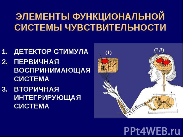 ЭЛЕМЕНТЫ ФУНКЦИОНАЛЬНОЙ СИСТЕМЫ ЧУВСТВИТЕЛЬНОСТИ ДЕТЕКТОР СТИМУЛА ПЕРВИЧНАЯ ВОСПРИНИМАЮЩАЯ СИСТЕМА ВТОРИЧНАЯ ИНТЕГРИРУЮЩАЯ СИСТЕМА (1) (2,3)