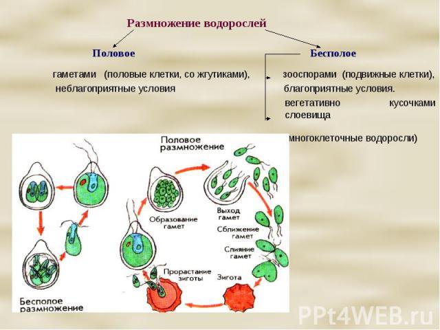 Размножение водорослей Половое Бесполое гаметами (половые клетки, со жгутиками), зооспорами (подвижные клетки), неблагоприятные условия благоприятные условия. вегетативно кусочками слоевища (многоклеточные водоросли)