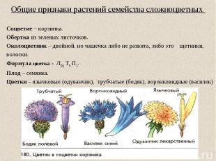 Общие признаки растений семейства сложноцветных Соцветие – корзинка. Обертка из