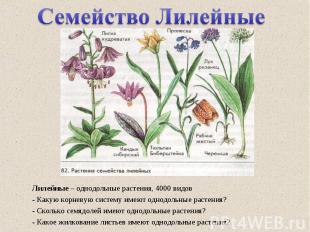Лилейные – однодольные растения, 4000 видов - Какую корневую систему имеют однод