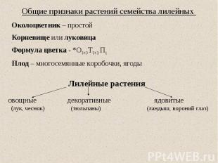 Общие признаки растений семейства лилейных Околоцветник – простой Корневище или