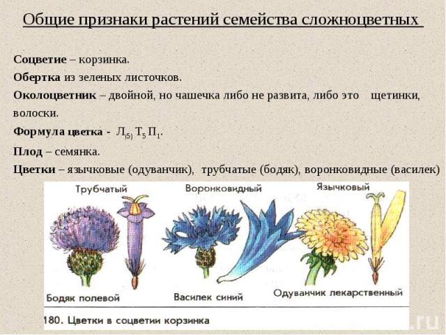 Общие признаки растений семейства сложноцветных Соцветие – корзинка. Обертка из зеленых листочков. Околоцветник – двойной, но чашечка либо не развита, либо это щетинки, волоски. Формула цветка - Л(5) Т5 П1. Плод – семянка. Цветки – язычковые (одуван…