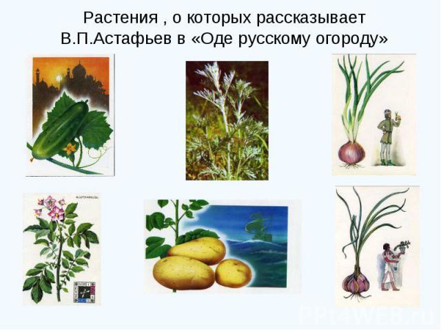 Растения , о которых рассказывает В.П.Астафьев в «Оде русскому огороду»