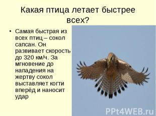 Какая птица летает быстрее всех? Самая быстрая из всех птиц – сокол сапсан. Он р
