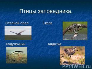 Ходулочник Авдотка Степной орел Скопа Птицы заповедника.