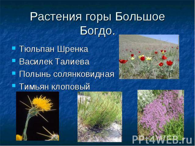 Растения горы Большое Богдо. Тюльпан Шренка Василек Талиева Полынь солянковидная Тимьян клоповый