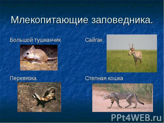 Большой тушканчик Сайгак Перевязка Степная кошка Млекопитающие заповедника.