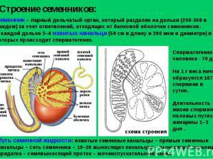 Строение семенников: Семенник – парный дольчатый орган, который разделен на доль