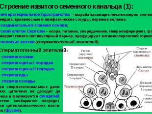Строение извитого семенного канальца (1): интерстициальное пространство – выраба