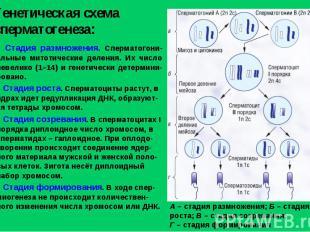 Генетическая схема сперматогенеза: А – стадия размножения; Б – стадия роста; В –