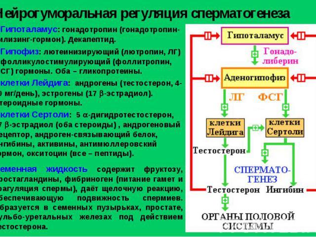 Нейрогуморальная регуляция сперматогенеза Гипоталамус: гонадотропин (гонадотропин-рилизинг-гормон). Декапептид. Гипофиз: лютеинизирующий (лютропин, ЛГ) и фолликулостимулирующий (фоллитропин, ФСГ) гормоны. Оба – гликопротеины. клетки Лейдига: андроге…