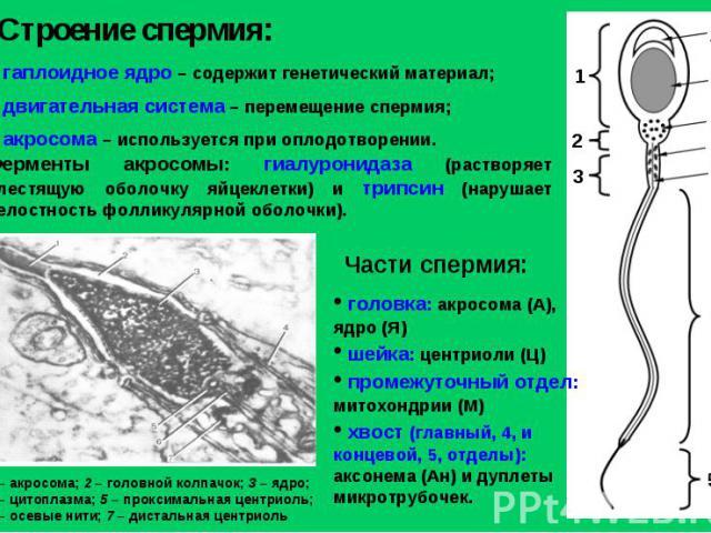 Строение спермия: гаплоидное ядро – содержит генетический материал; двигательная система – перемещение спермия; акросома – используется при оплодотворении. Ферменты акросомы: гиалуронидаза (растворяет блестящую оболочку яйцеклетки) и трипсин (наруша…