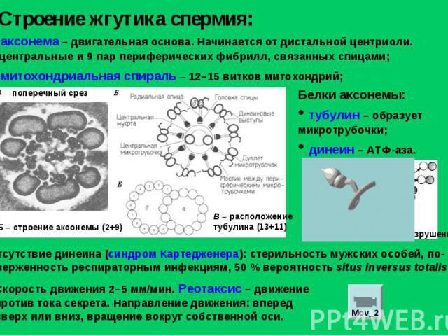 Строение жгутика спермия: аксонема – двигательная основа. Начинается от дистальной центриоли. 2 центральные и 9 пар периферических фибрилл, связанных спицами; митохондриальная спираль – 12–15 витков митохондрий; Белки аксонемы: тубулин – образует ми…