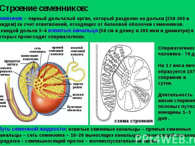 Строение семенников: Семенник – парный дольчатый орган, который разделен на дольки (250-300 в каждом) за счет ответвлений, отходящих от белковой оболочки семенников. В каждой дольке 3–4 извитых канальца (50 см в длину и 200 мкм в диаметре) в которых…