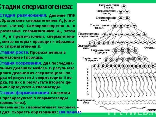 Стадии сперматогенеза: Стадия размножения. Деление ППК и образование сперматогониев А1 (ство-ловая клетка). Самопроизводство А1 и образование сперматогониев А2, затем А3, А4 и промежуточных сперматогони-ев, митоз которых приводит к образова-нию спер…