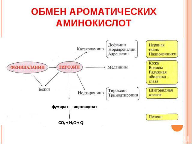 ОБМЕН АРОМАТИЧЕСКИХ АМИНОКИСЛОТ