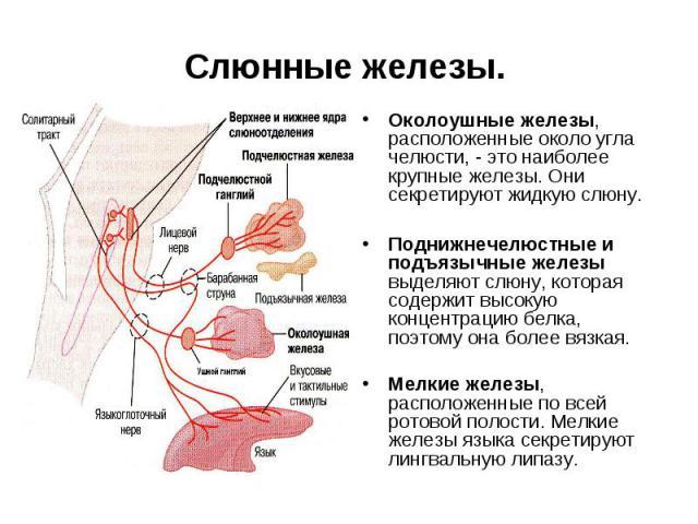 Слюнные железы. Околоушные железы, расположенные около угла челюсти, - это наиболее крупные железы. Они секретируют жидкую слюну. Поднижнечелюстные и подъязычные железы выделяют слюну, которая содержит высокую концентрацию белка, поэтому она более в…