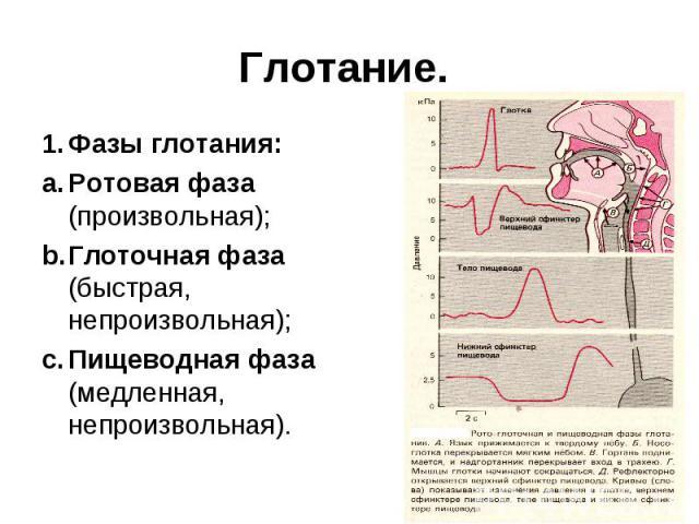 Глотание. 1. Фазы глотания: a. Ротовая фаза (произвольная); b. Глоточная фаза (быстрая, непроизвольная); c. Пищеводная фаза (медленная, непроизвольная).