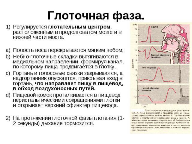 Глоточная фаза. Регулируется глотательным центром, расположенным в продолговатом мозге и в нижней части моста. a) Полость носа перекрывается мягким небом; Небно-глоточные складки вытягиваются в медиальном направлении, формируя канал, по которому пищ…