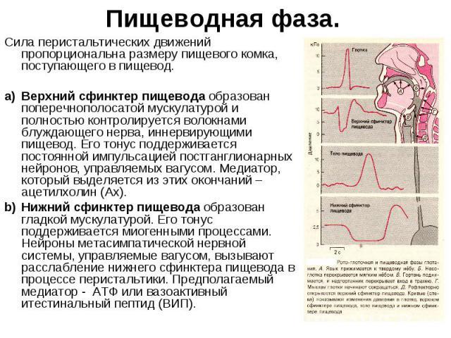 Пищеводная фаза. Сила перистальтических движений пропорциональна размеру пищевого комка, поступающего в пищевод. a) Верхний сфинктер пищевода образован поперечнополосатой мускулатурой и полностью контролируется волокнами блуждающего нерва, иннервиру…