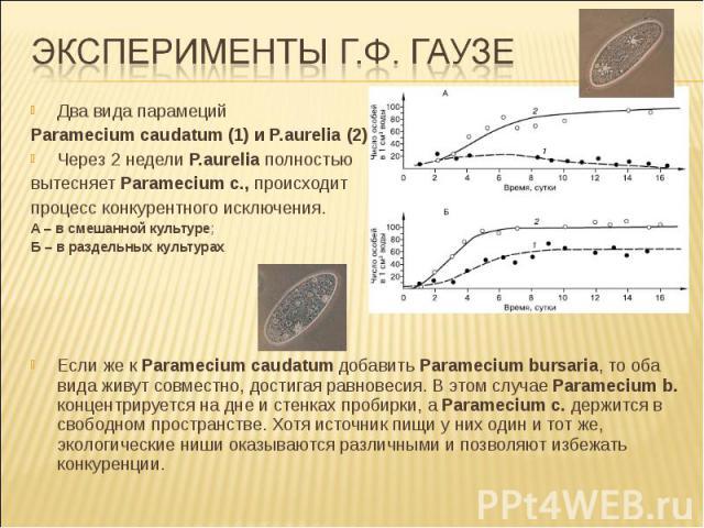 Два вида парамеций Paramecium caudatum (1) и P.aurelia (2), Через 2 недели P.aurelia полностью вытесняет Paramecium c., происходит процесс конкурентного исключения. А – в смешанной культуре; Б – в раздельных культурах Если же к Paramecium caudatum д…