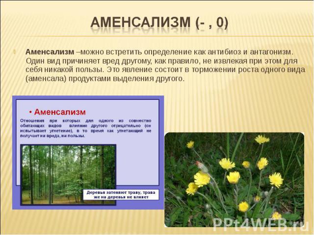 Аменсализм –можно встретить определение как антибиоз и антагонизм. Один вид причиняет вред другому, как правило, не извлекая при этом для себя никакой пользы. Это явление состоит в торможении роста одного вида (аменсала) продуктами выделения другого.