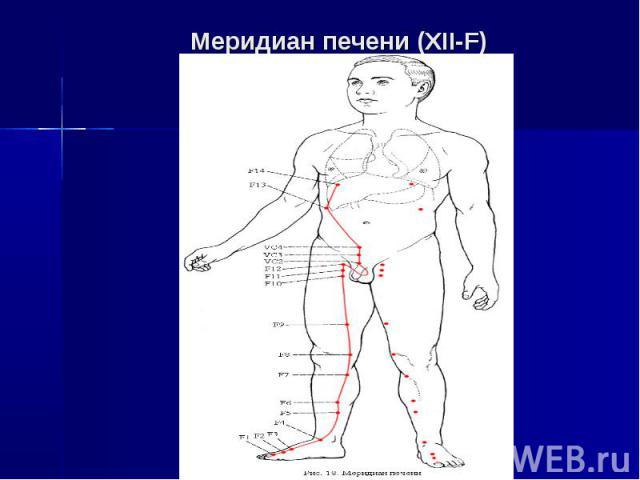 Меридиан печени (XII-F)