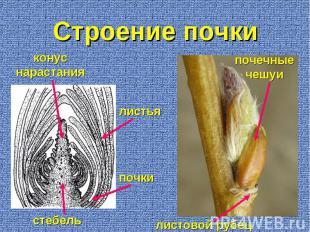 листовой рубец почечные чешуи стебель конус нарастания листья почки Строение поч