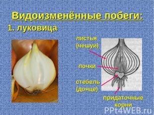 1. луковица придаточные корни стебель (донце) листья (чешуи) почки Видоизменённы