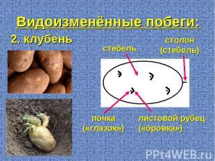 2. клубень почка («глазок») стебель столон (стебель) листовой рубец («бровка») В